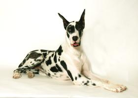 Harlequin Great Dane Cases and Skins