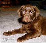 Chocolate Labrador Photographs