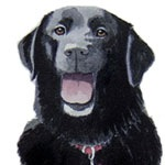 Another Morgan the Black Lab