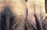 Nothing Butt Elephants