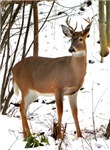 Whitetail Deer In Winter Greeting Cards