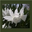 Thalia Daffodils