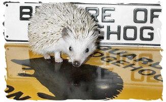 Shael: Beware of Hedgehog