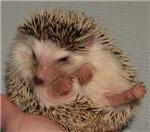 Aramaiah the Hedgehog