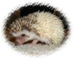Pretty Pinto Hedgehog