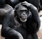 Chimp Scratching His Head