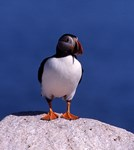 Puffin on a ledge