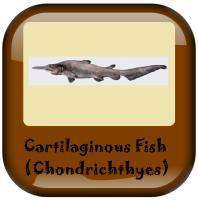 Cartilaginous Fish - Chondrichthyes