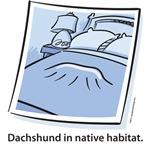 Dachshund in native habitat.