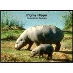 Pygmy Hippo Hippopotamus Photo