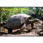 Galapagos Giant Tortoise Photo