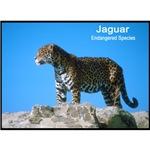 Jaguar Wild Cat Photo