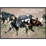 African Wild Dogs Photo