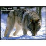 Gray Wolf Predator Photo