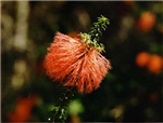 Swamp Bottlebrush