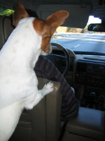 Jack Russell Back Seat Driver