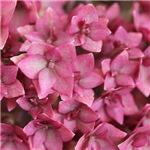 Garden Glee, Hydrangea