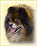 Pomeranian-Multiple Illustrations