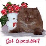 Chocolate Persian Kitten
