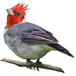 Red Crested Cardinal Lover Gifts
