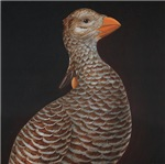 Heath Hen (Tympanuchus cupido cupido)