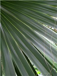 .palm frond.