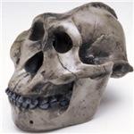 Primitive Skull