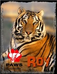 Roy the Tiger, Color Photo