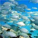 Gray Chub Fish