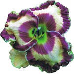 Purple Eye & Edge Daylily
