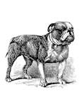 Vintage Bull Dog