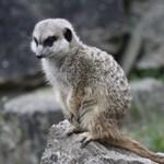 lovely meerkat