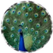 Peacock 5427