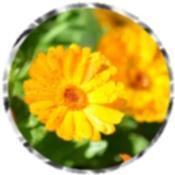 Yellow daisy 2153
