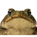 Cane toad 2