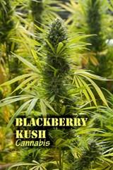 Blackberry Kush (with name)