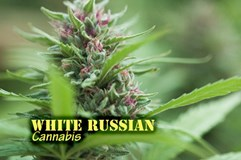 White Russian (with name)