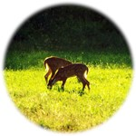 fawns photo