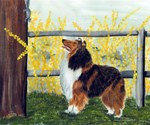 Rough Collie Sable