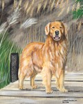 Golden Dock Dog