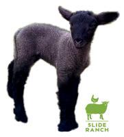 Lamb Tees & Sweatshirts