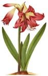 Belladonna lilly