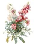 Matthiola by H. Vincent