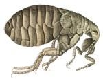Flea from Hooke's Micrographia