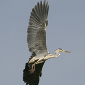 Grey Heron Taking Flight