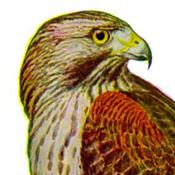 Fuertes' Red-shouldered Hawk