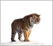 Tiger Posters & Tiger Pictures