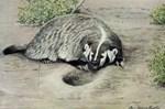 Badger by Fuertes