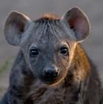 Wild Dog and Hyena