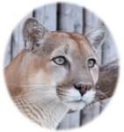 Glancing Cougar